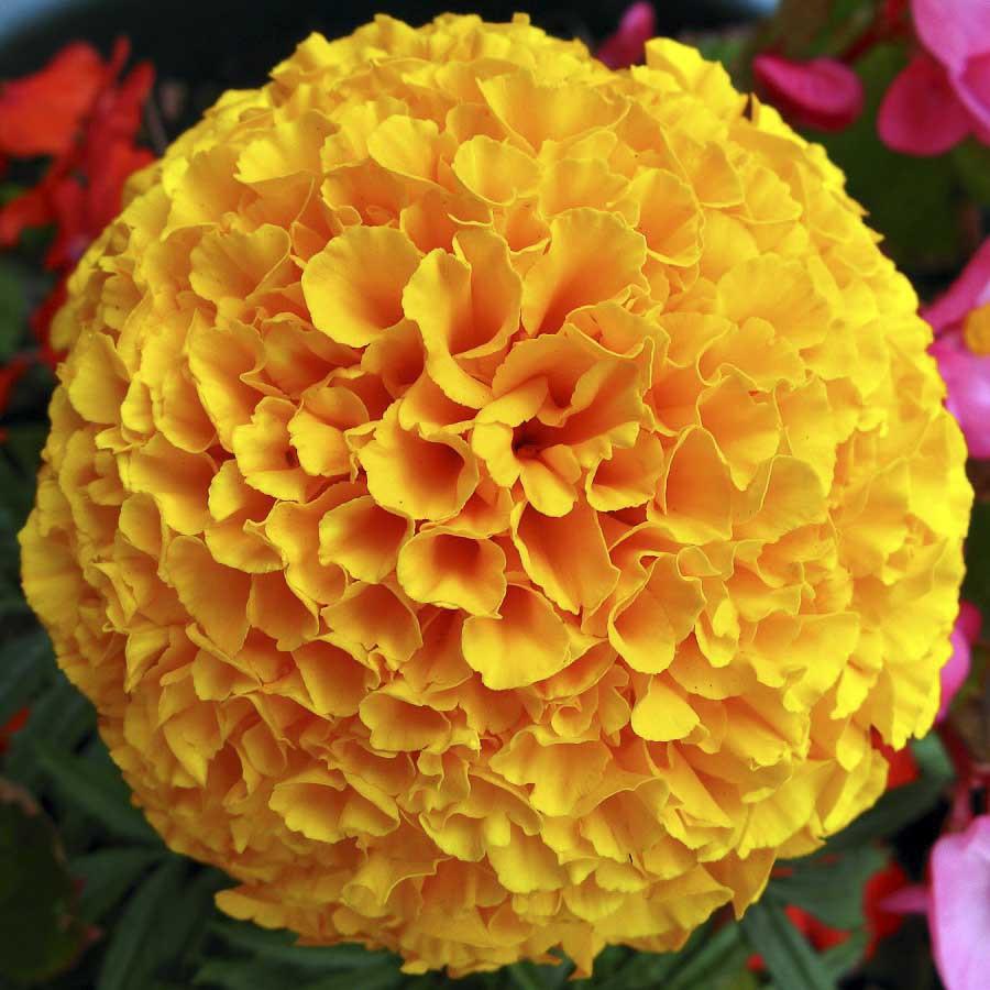 Marigold African F2 Orange