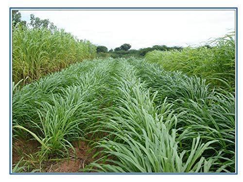 Pennisetum purpureum grass