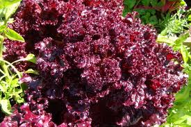 Imported Lettuce Seed