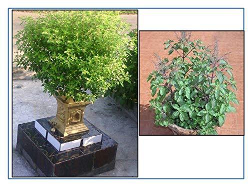 Tulsi plant seeds