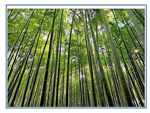 Bmbusa Bambos or Bambusa Arundinacea