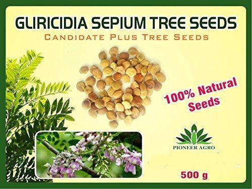 Gliricidia Sepium Tree Seed