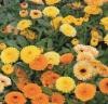 Calendula Mix Seed
