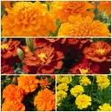 Marigold Flower Seed
