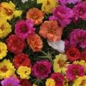 Portulaca grandiflora Mix