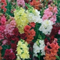 Antirrhinum Semi Tall Mix