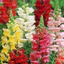 Antirrhinum Tomb Thumb Mix
