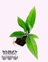 Elaeocarpus Ganitrus