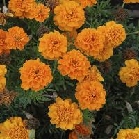 Marigold French Gulzafri Orange