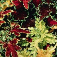 PanAm Premium High Quality Coleus Wizard
