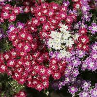 Phlox Twinkle Stars Mix