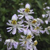 Schizanthus pinnatus Mix