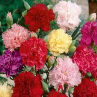 Carnation Chaubad Mix (Dianthus caryophyllus)