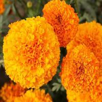 Marigold African Hawaii Orange