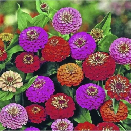 Zinnia elegans Lilliput Mixed