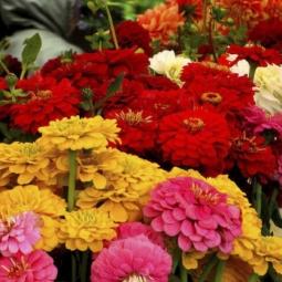 Zinnia Dahlia Flowered Mix