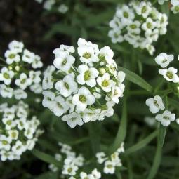 Sweet Alyssum White Seed