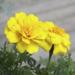 Marigold petula Yellow