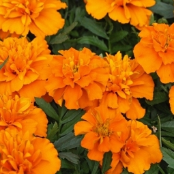 Marigold Petula Orange
