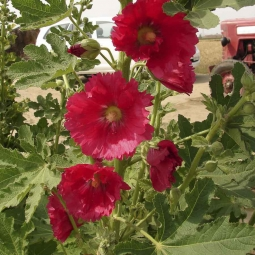 Hollyhocks Summer Carnival Mix