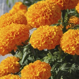 Marigold African F2 Orange