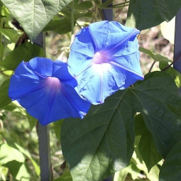 Ipomea Heavenly Blue